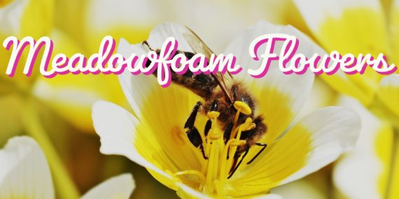 Meadowfoam flowers for skin and hair care