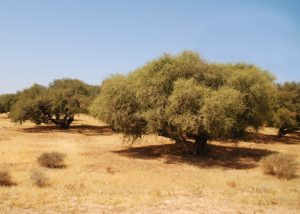 Argan Trees on the Plantation